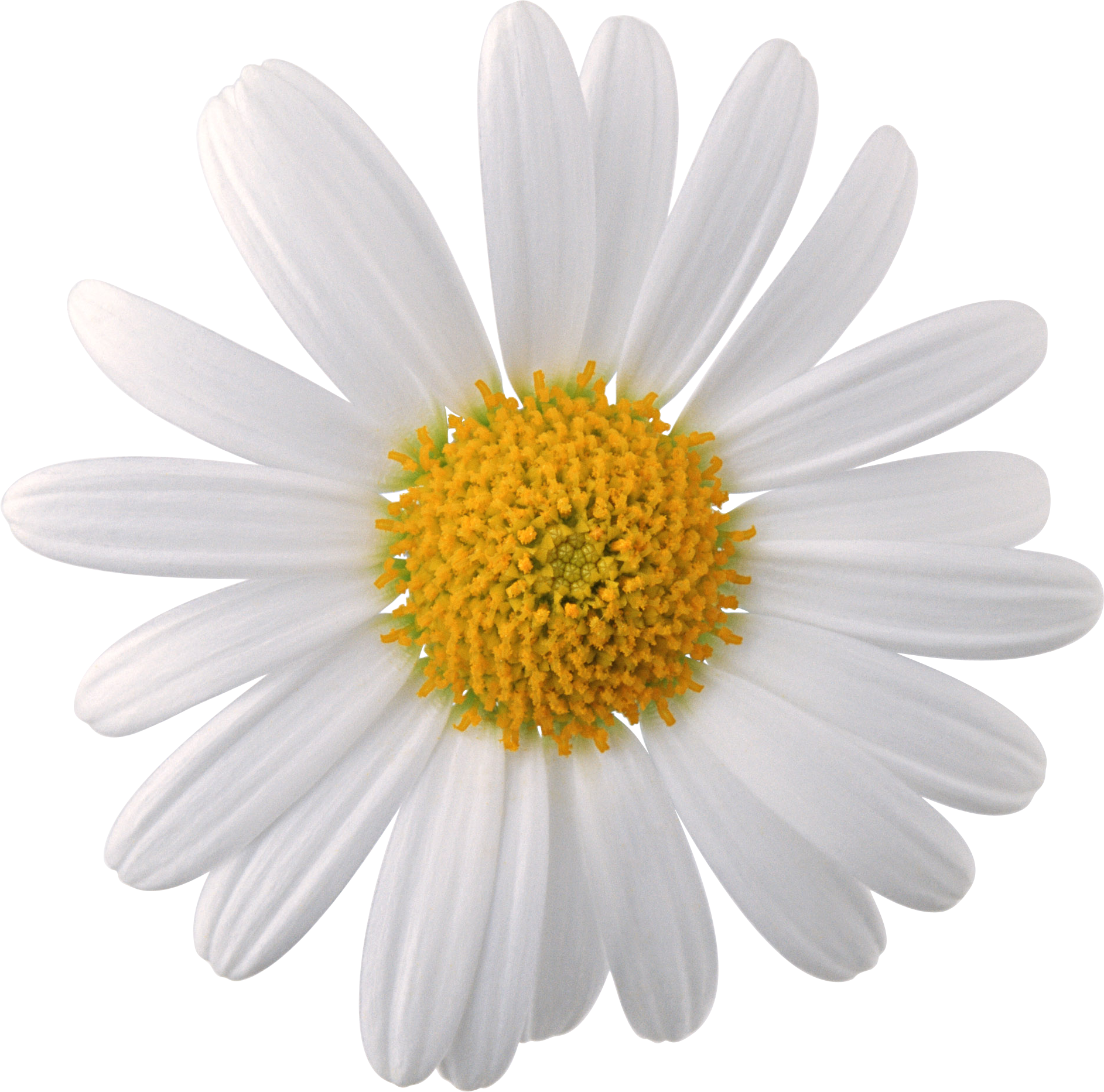 Camomile clipart png format Download Images Camomile com PNG