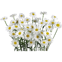 Camomile clipart png format PNG Download Camomile FreePNGImg images