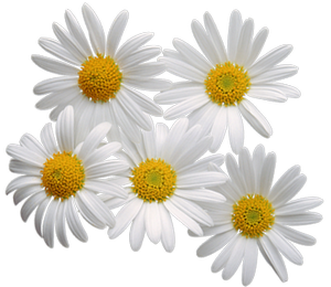 Camomile clipart png format Art #CamomileClipart Camomile clipart flowers