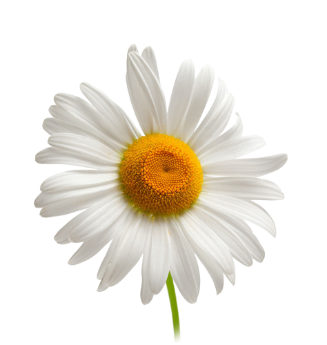 Camomile clipart real Download flower flower image Camomile