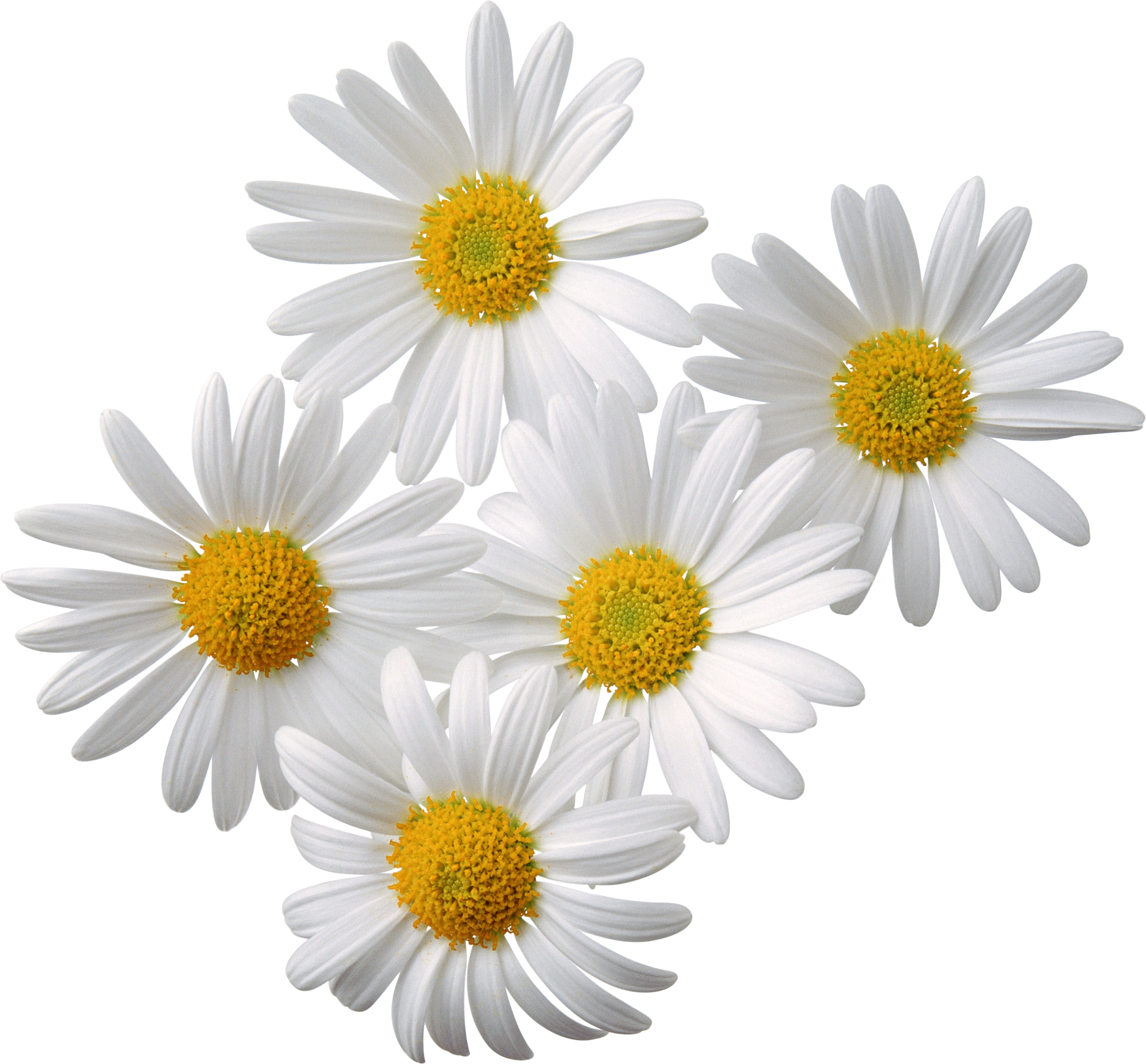 Camomile clipart png format Free picture  Camomiles branches
