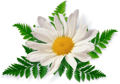 Camomile clipart png format PNG gallery Download Images PNG