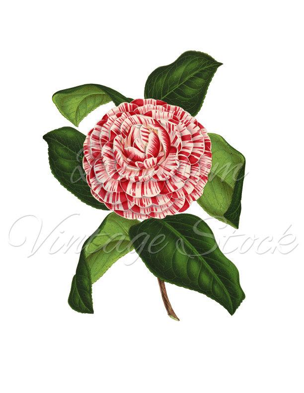 Chanel clipart camellia Botanical Camellia flower Botanical Etsy