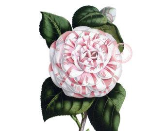 Chanel clipart camellia Camellia Floral clip Derby camellia