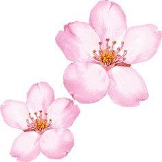 Drawn sakura blossom white background For bp Image com/