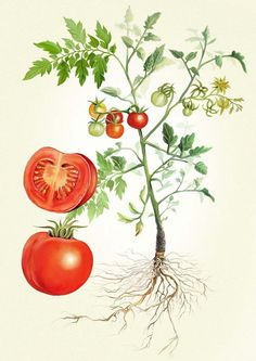 Drawn tomato Illustration illustration PD food scientific
