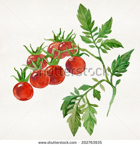 Cherry Tomato clipart carrot plant Of on white on isolated