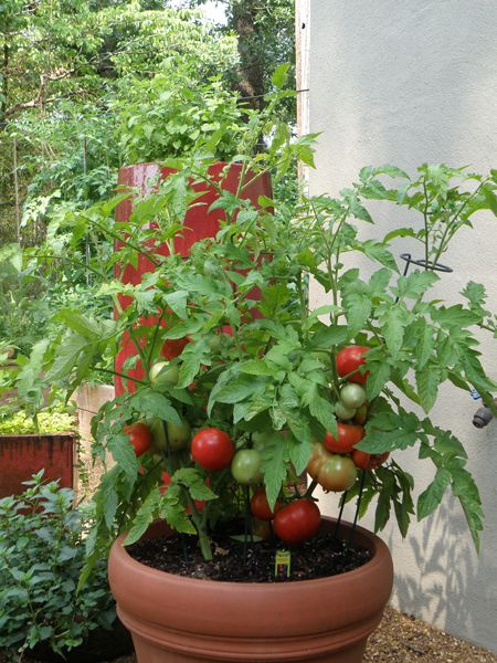 Cherry Tomato clipart different kind plant Bush Pinterest Determinate in Tomato