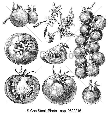Drawn tomato vector #11