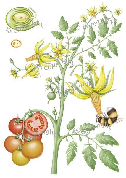 Drawn tomato clip art #12