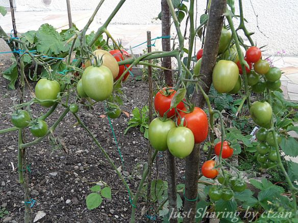 Cherry Tomato clipart pokok That many our their on