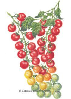 Cherry Tomato clipart pokok Paintings result Image botanical for