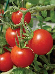 Cherry Tomato clipart pokok Es los entre de cultivadores