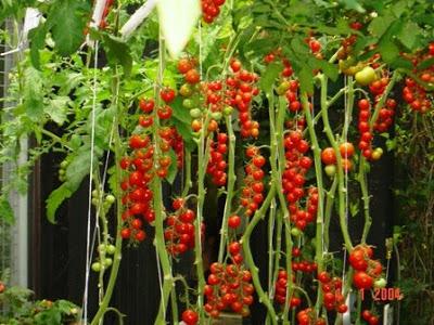 Cherry Tomato clipart pokok AGROJOURNAL tomatoes: cherry hiasan