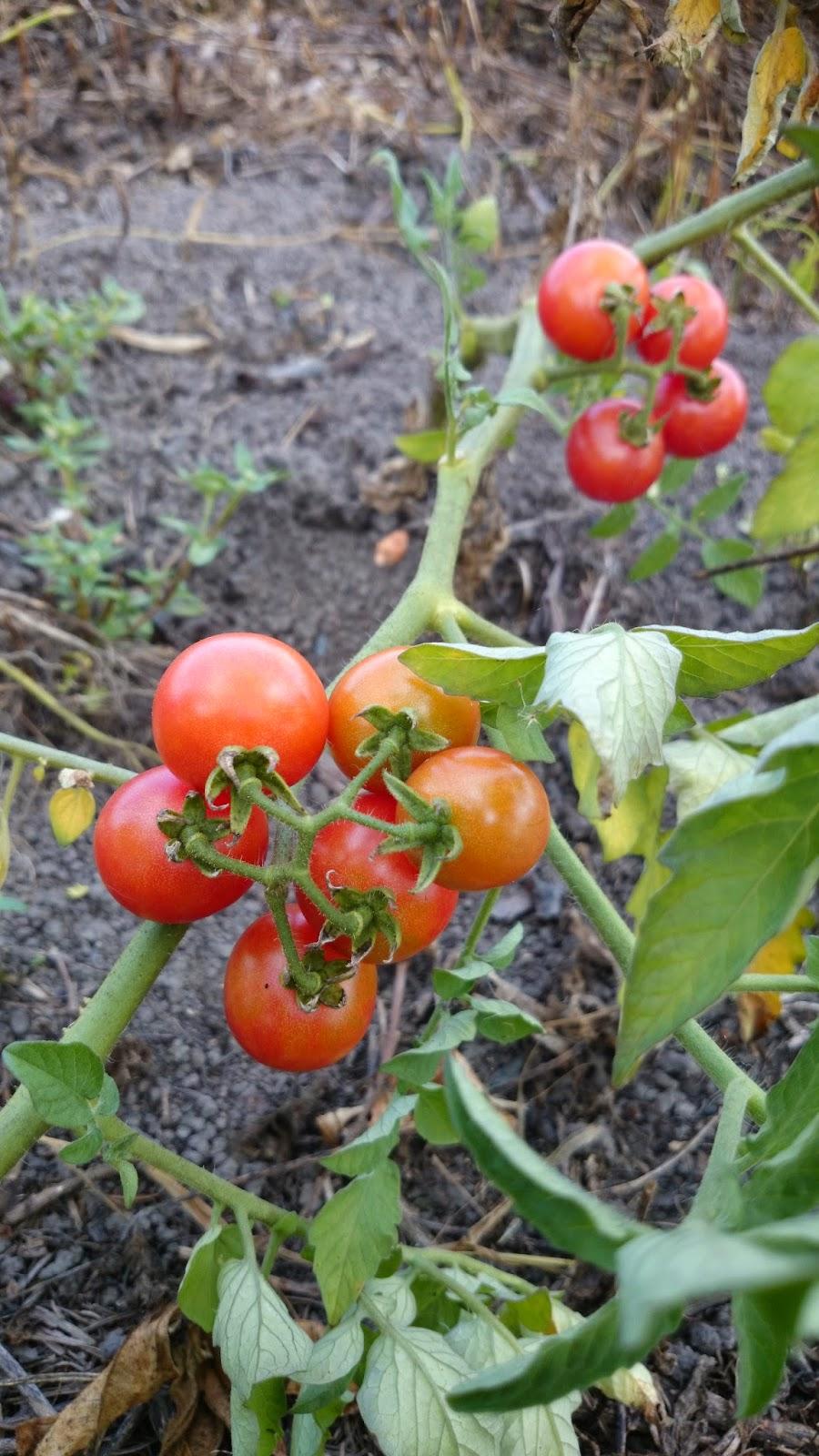 Cherry Tomato clipart pokok TOMATO Rumah and Gardening Belakang