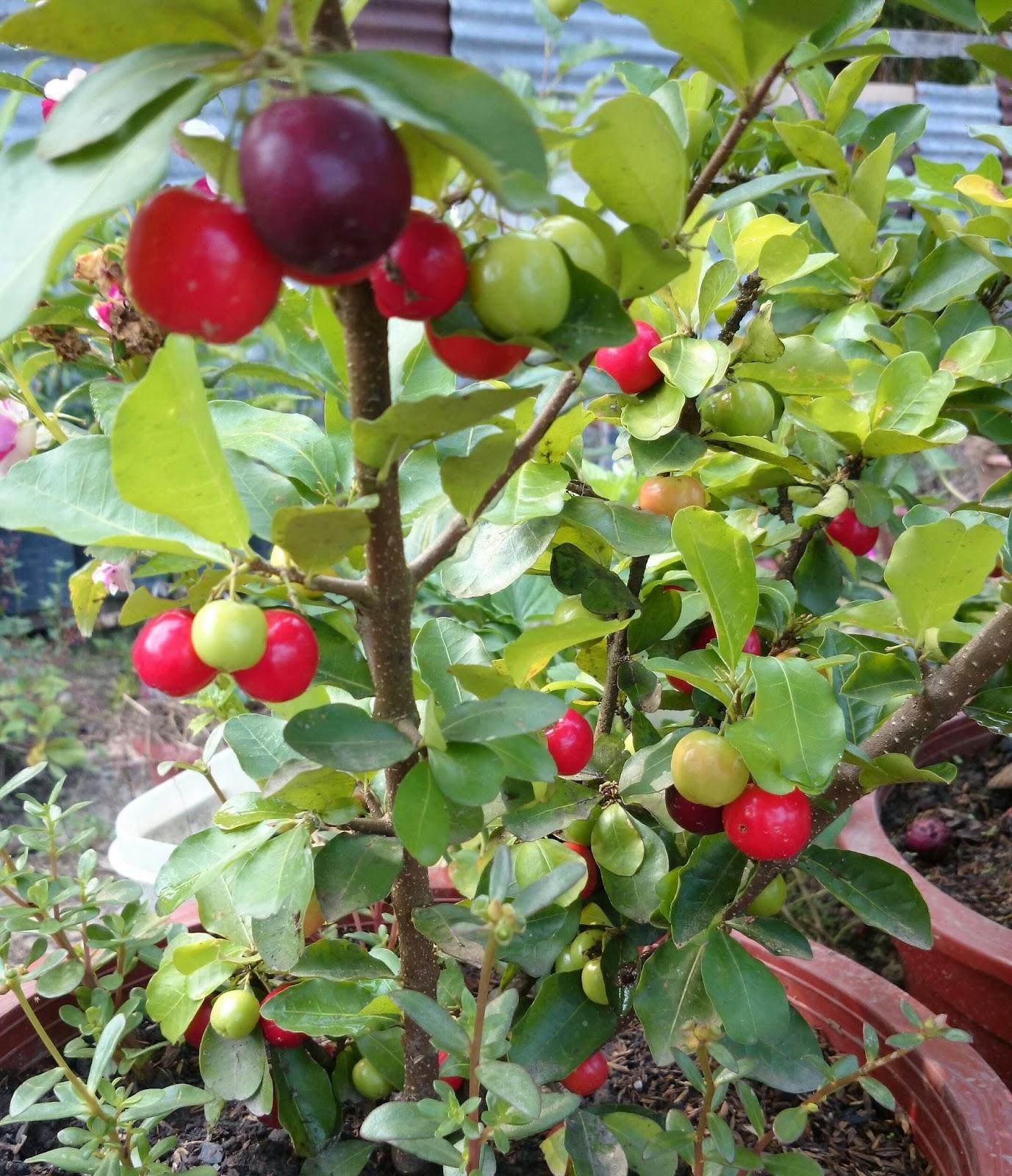 Cherry Tomato clipart pokok Container  Gardening Cherry Cherry