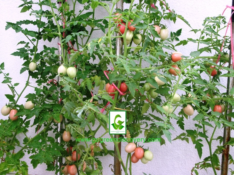 Cherry Tomato clipart pokok Go Sale (100pcs) Seeds Cherry