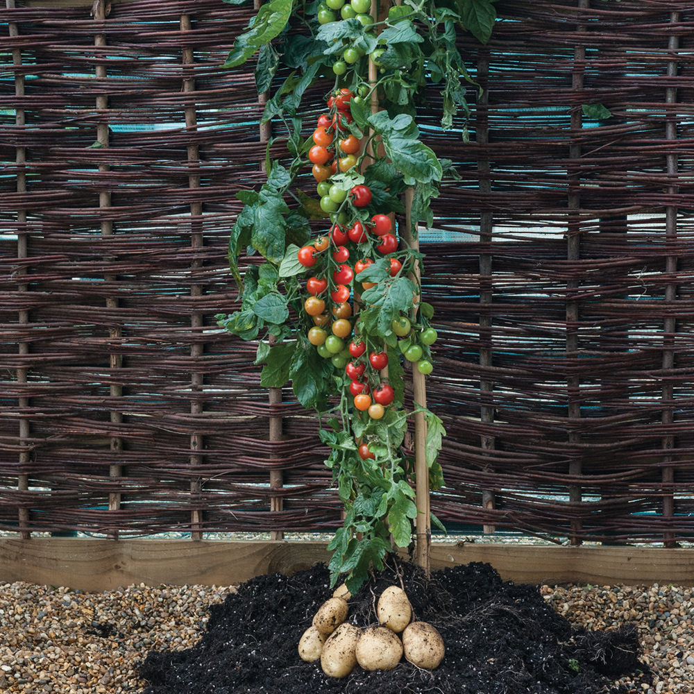 Cherry Tomato clipart potato plant E Newsletter Perennials  Phoenix