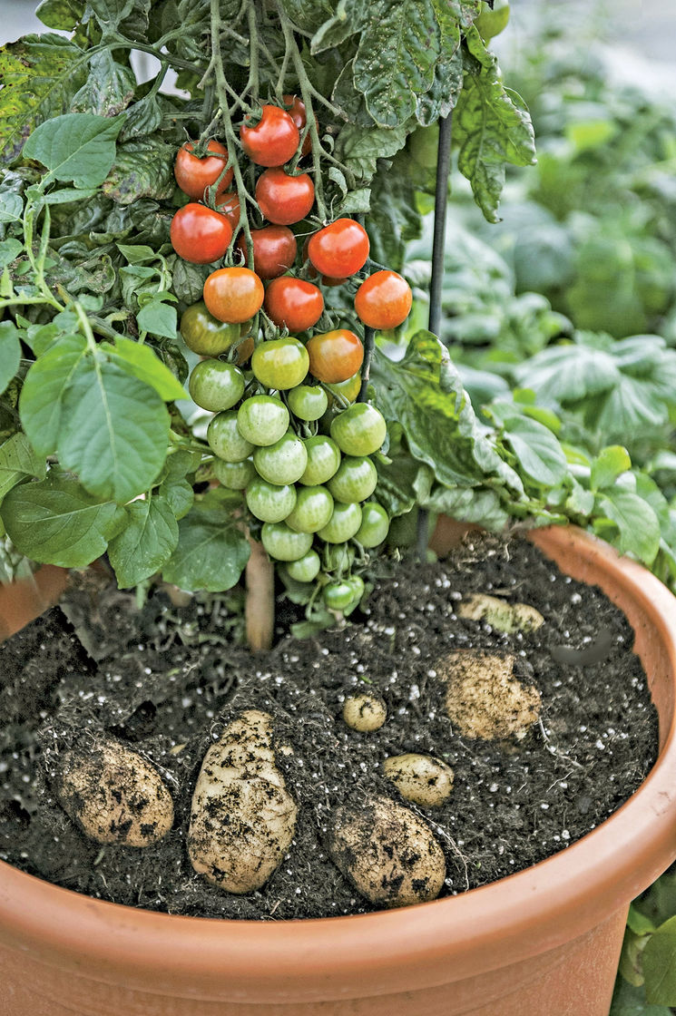Cherry Tomato clipart potato plant Com Fries 'N' Tomato Gardeners