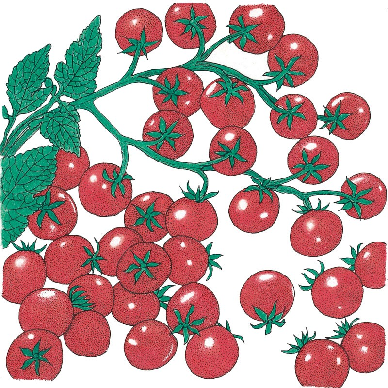 Cherry Tomato clipart potato plant Cherry Seeds Seeds) (Vegetable Peaceful