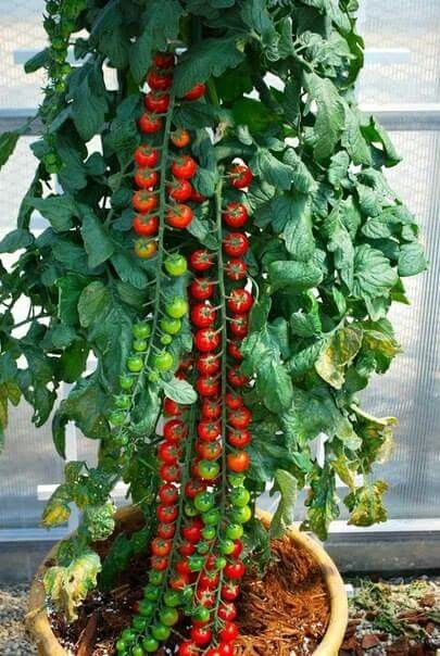 Cherry Tomato clipart potato plant Pinterest on Potato/Tomato images Gardening