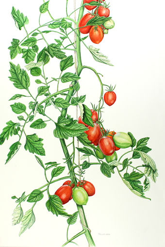 Drawn tomato For vine vine Research botanical