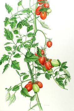 Cherry Tomato clipart vegetable plant For Botanical Mix illustrations tomato
