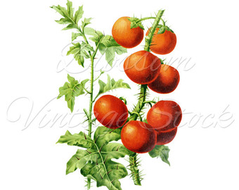 Cherry Tomato clipart vegetable plant Prints digital Clipart Cherry for