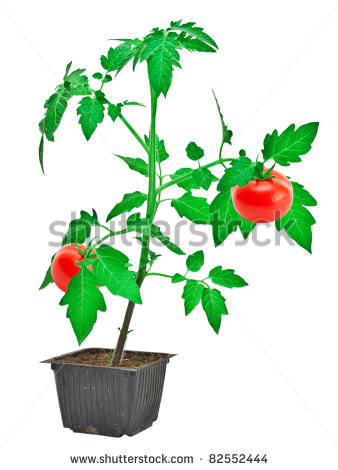 Cherry Tomato clipart vegetable plant  White Free Vegetable vegetable%20plant%20clipart%20black%20and%20white