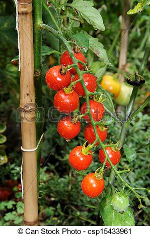 Cherry Tomato clipart vegetable plant Sweet Million plant tomato of