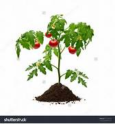 Cherry Tomato clipart vegetable plant For > stock Tomato Gallery