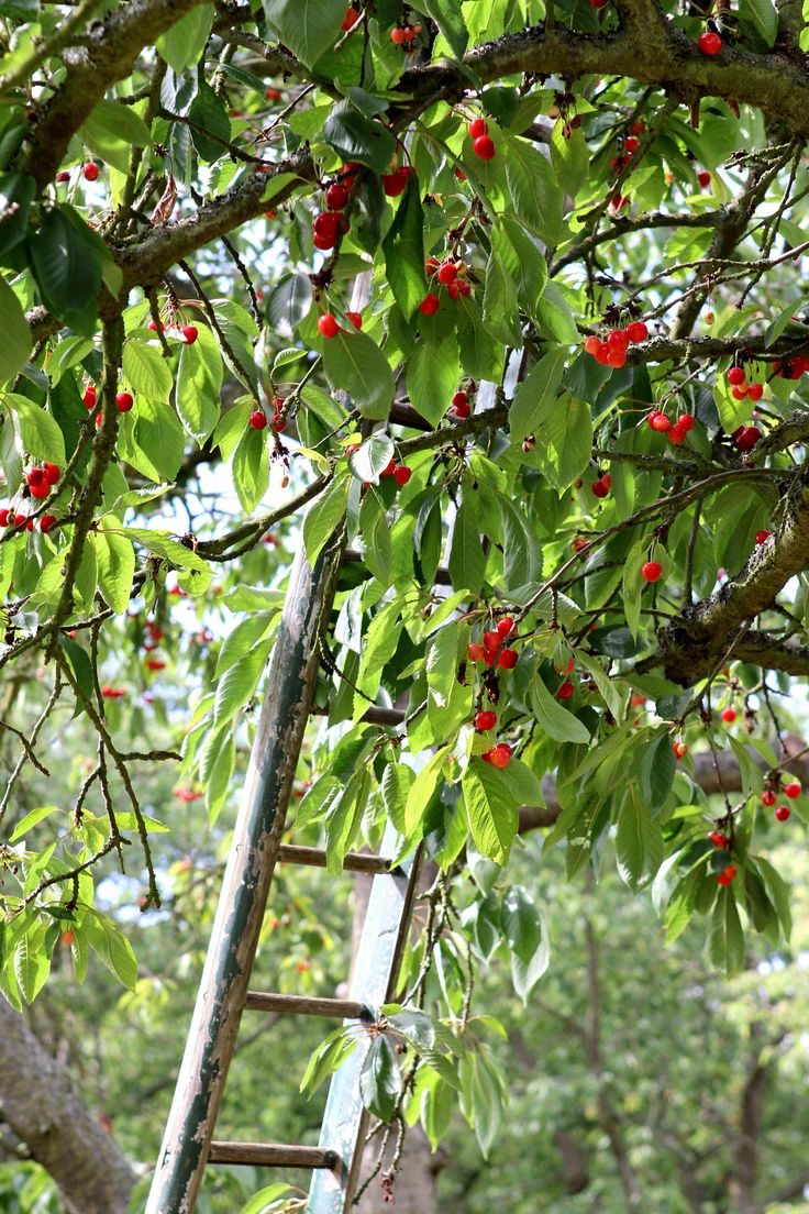 Cherry Tree clipart fruit orchard Simple  images best on