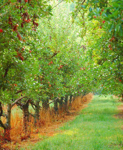 Cherry Tree clipart fruit orchard Tree 25+ tree Apple trees