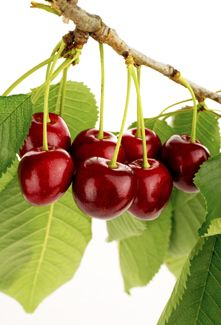 Cherry Tree clipart fruit orchard On images Fruit and Find