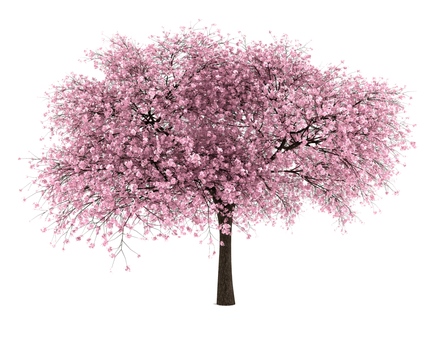 Cherry Tree clipart white background PNG Images 20 Free Blossom