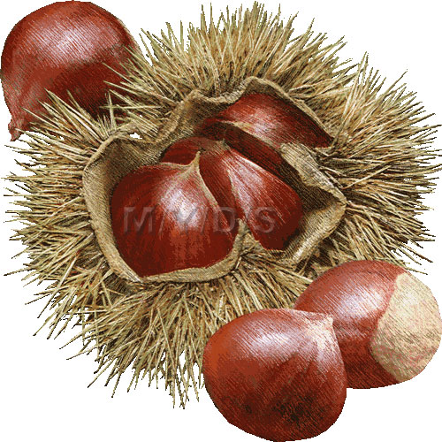 Chestunt clipart nuts Clipart art Chestnuts clipart picture