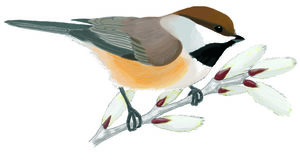 Chickadee clipart Free willow hudsonicus Illustrations and