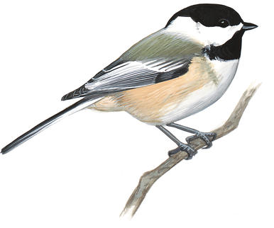 Chickadee clipart Download Capped Clip of Black