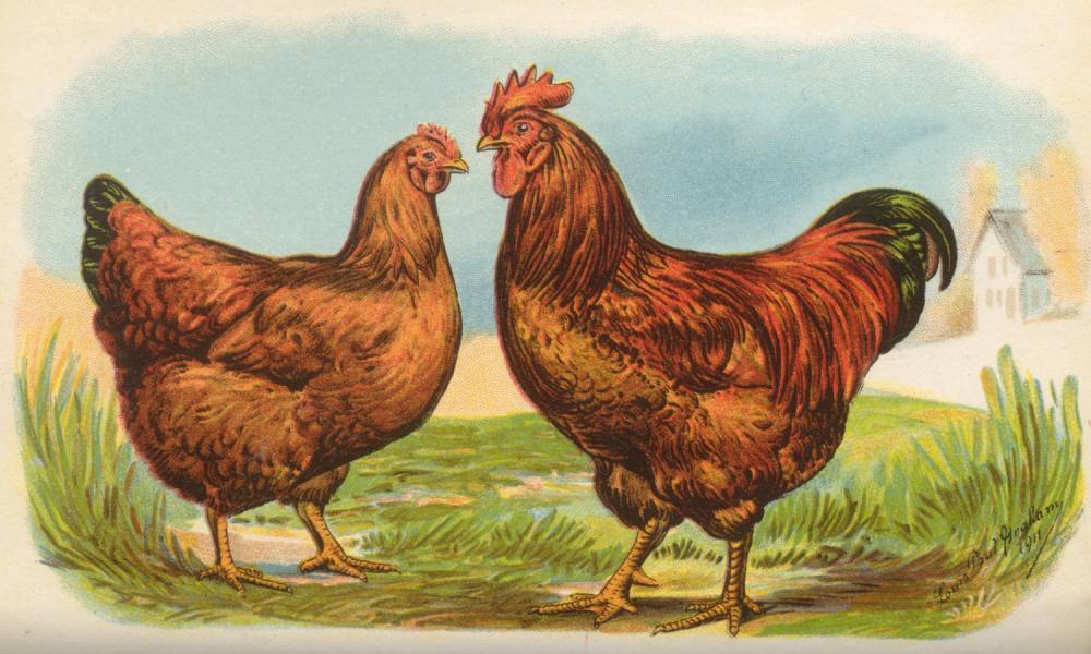 Chicken clipart rhode island red Chicken Reds Brahmas Island Ducks