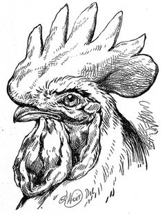 Drawn rooster chicken Rooster this of Graphics