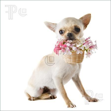 Chihuahua clipart birthday Clip chihuahua flowers Dog Art