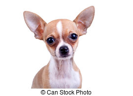 Chihuahua clipart chiwawa Stock Chihuahua picture expressive