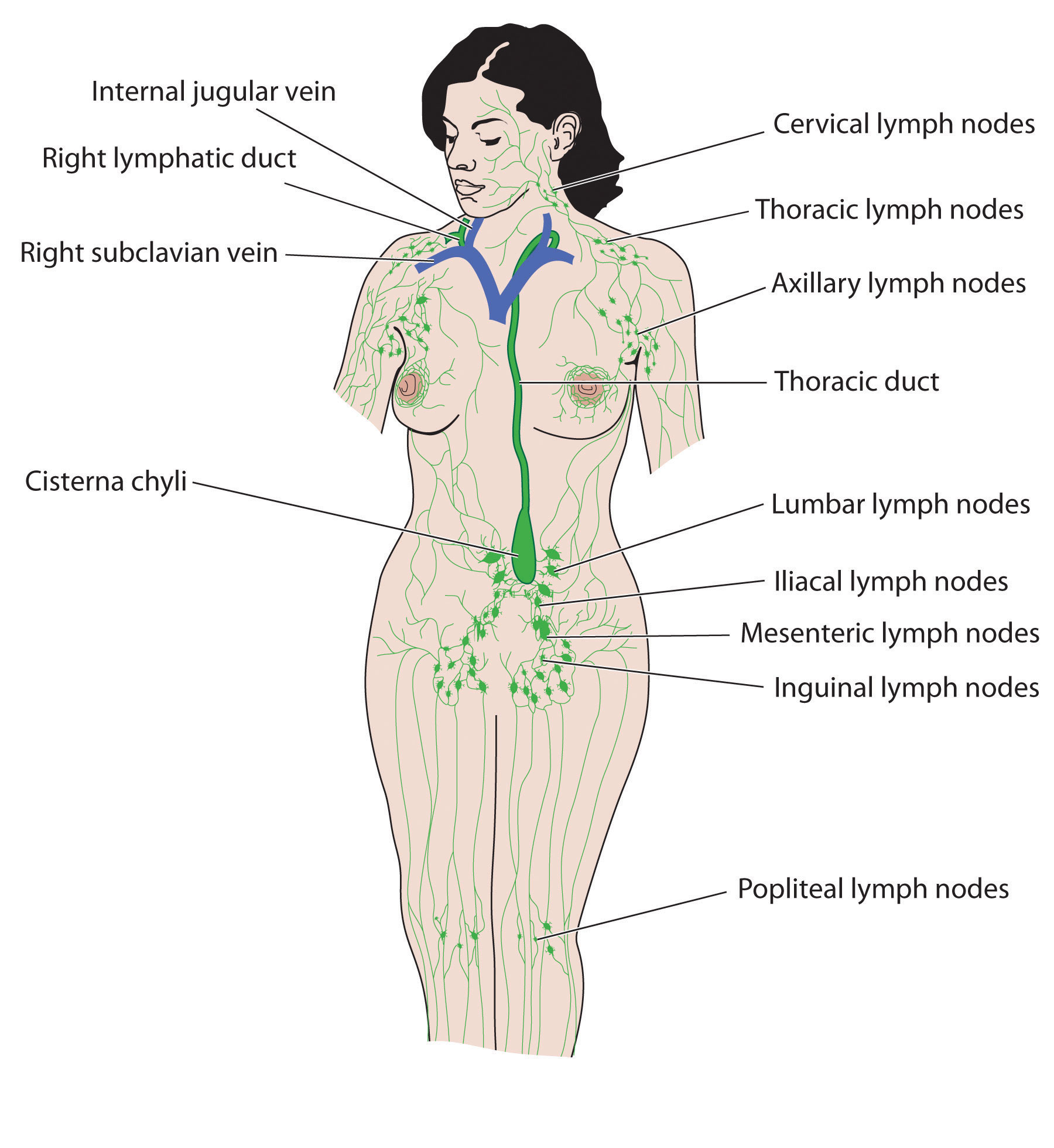 Chill clipart immune system Shows image Health and lymphatic