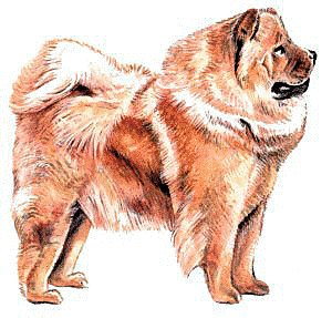 Chow Chow clipart Images  Graphics Free Clipart