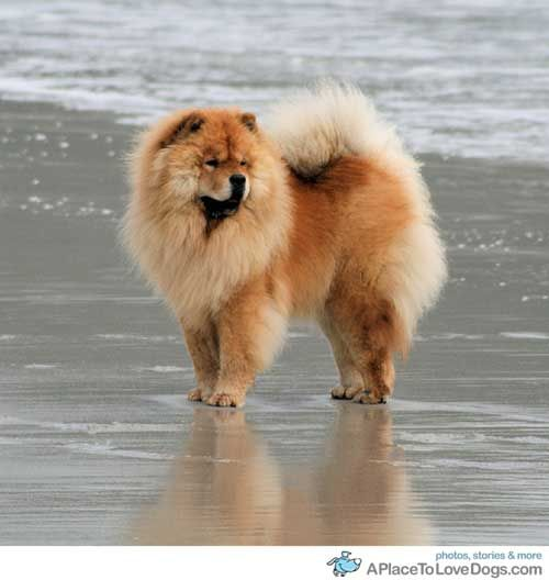 Chow Chow clipart Pinterest on dogs images chow