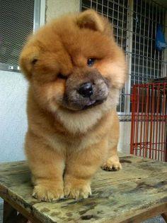 Chow Chow clipart Year Chow one http://cutepuppyanddog