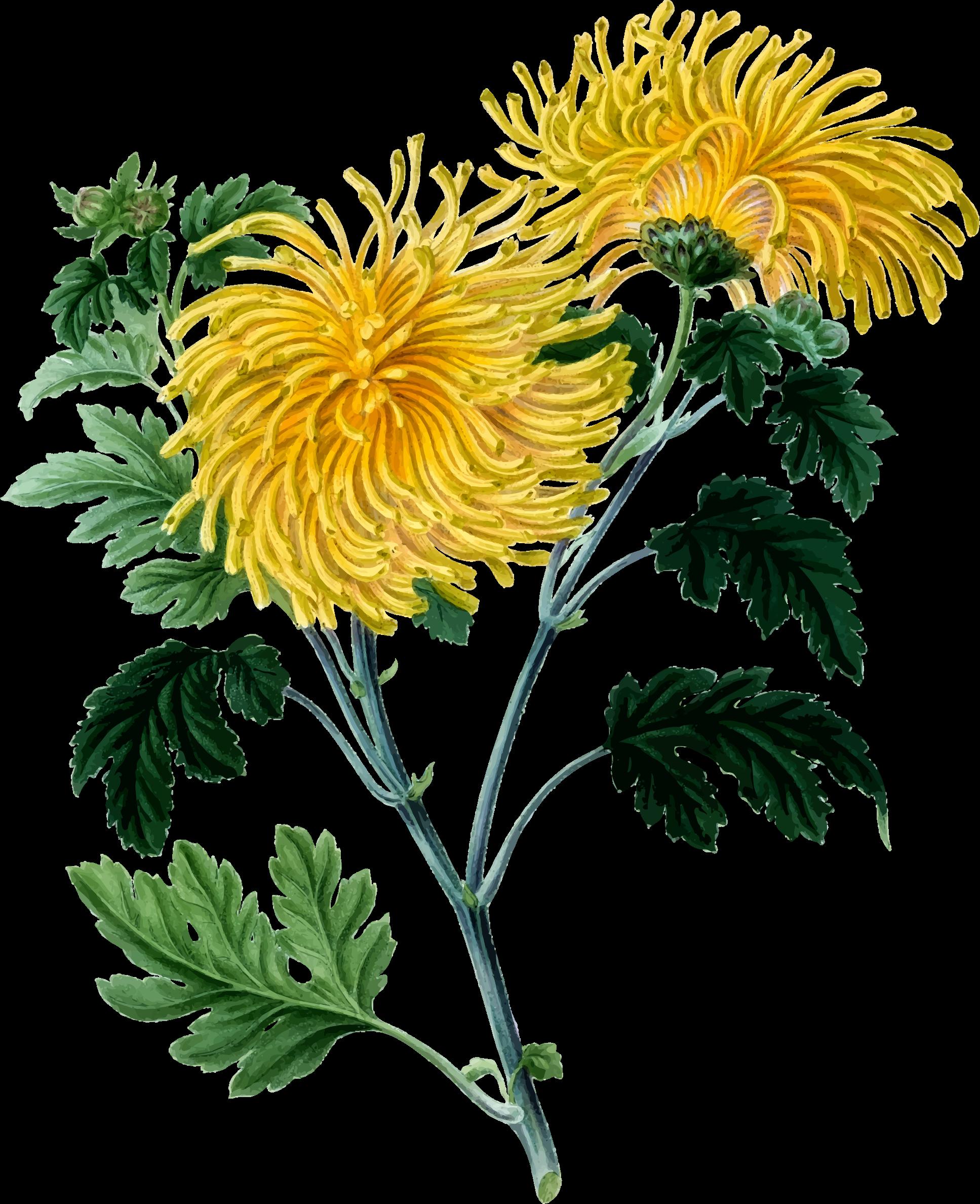 Yellow Flower clipart chrysanthemums Clipart Chrysanthemum 2 2 Chrysanthemum