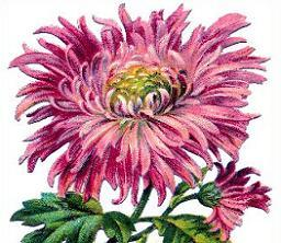 Chrysanthemum clipart Pink Free Chrysanthemum Clipart chrysanthemum