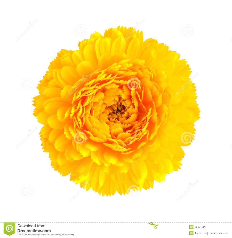 Yellow Flower clipart chrysanthemums Clip Yellow Yellow Art Chrysanthemum