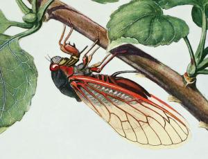 Cicada clipart Cicada Year Clip Art Locust